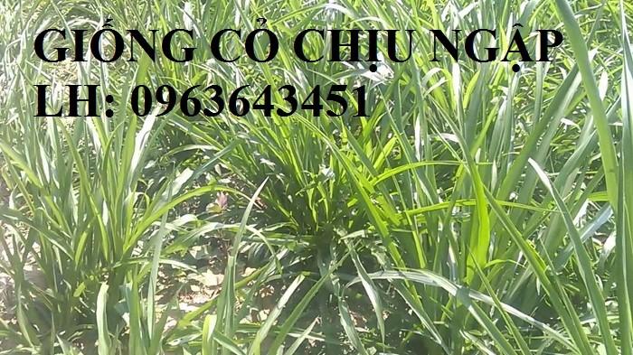 Chuyên giống cỏ chăn nuôi: Cỏ VA06, cỏ ghine, cỏ chịu ngập chịu mặn,cỏ voi, ả9
