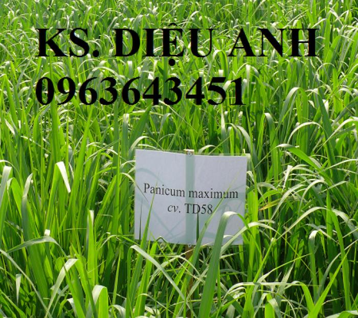 Chuyên giống cỏ chăn nuôi: Cỏ VA06, cỏ ghine, cỏ chịu ngập chịu mặn,cỏ voi, ả11