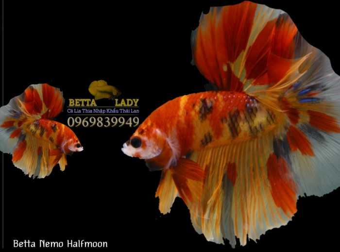 Cá Betta Nemo Halfmoon Nhập Khẩu Thái Lam0