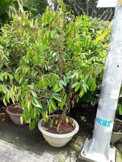 Cung cấp giống cây sầu riêng RI6, chuẩn giống F1, năng suất cao, giá cả hợp lý3