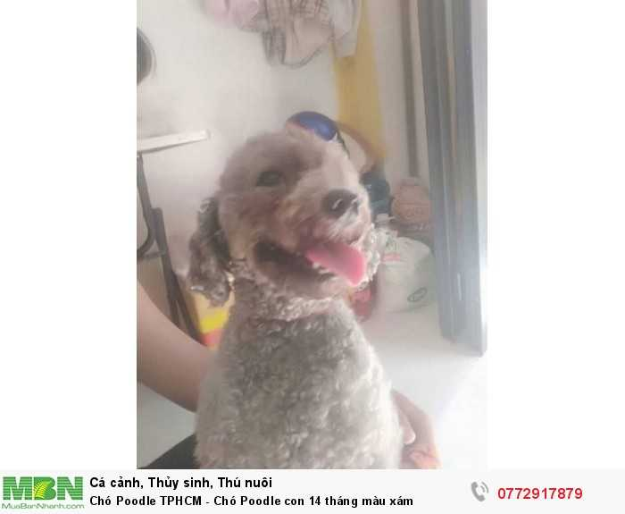 Bán cún Poodle 1