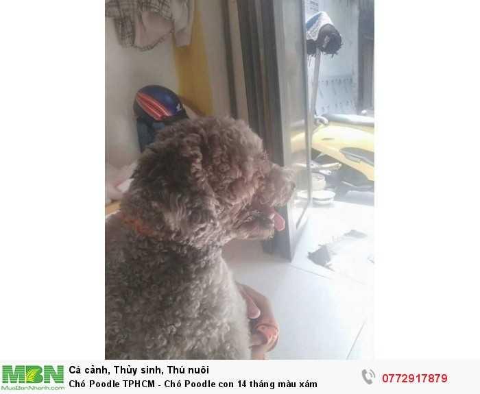 Chó Poodle con0