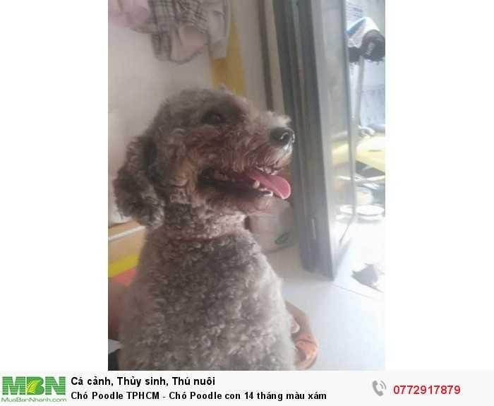 Chó Poodle màu xám2