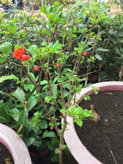 Đặc điểm sống của cây Lựu đỏ Ấn Độ .6
