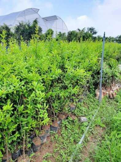 Đặc điểm sống của cây Lựu đỏ Ấn Độ .5
