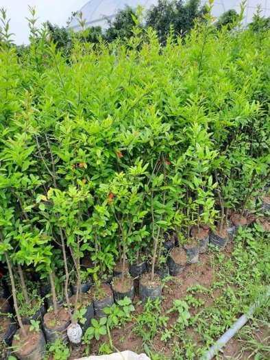 Đặc điểm sống của cây Lựu đỏ Ấn Độ .2