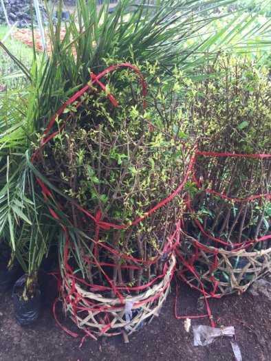 Đặc điểm sống của cây Lựu đỏ Ấn Độ .1