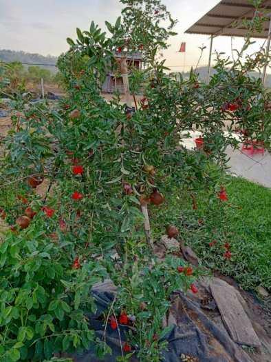 Đặc điểm sống của cây Lựu đỏ Ấn Độ .0