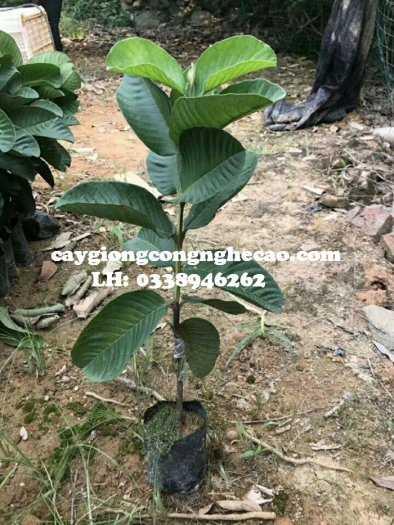 Cung cấp cây giống: Ổi RUby Ruột Đỏ Không Hạt5