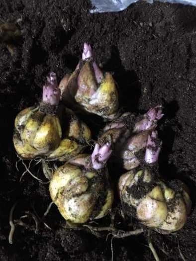 Cung Cấp Sỉ , Lẻ về củ hoa Ly cao cho mùa tết 2021.12