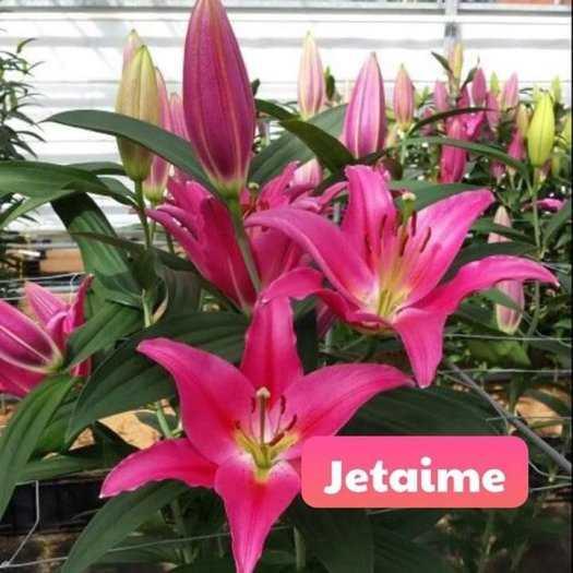 Cung Cấp Sỉ , Lẻ về củ hoa Ly cao cho mùa tết 2021.5