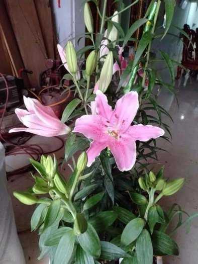Cung Cấp Sỉ , Lẻ về củ hoa Ly cao cho mùa tết 2021.4