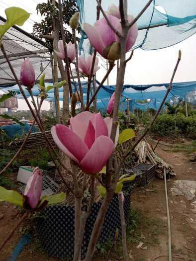 Giống cây hoa Mộc Lan tết 2021 - kỹ thuật trồng và chăm sóc - 0981.996.88011