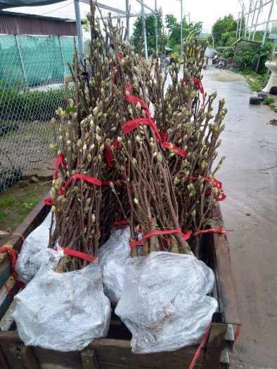 Giống cây hoa Mộc Lan tết 2021 - kỹ thuật trồng và chăm sóc - 0981.996.88010