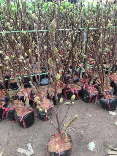 Giống cây hoa Mộc Lan tết 2021 - kỹ thuật trồng và chăm sóc - 0981.996.8806
