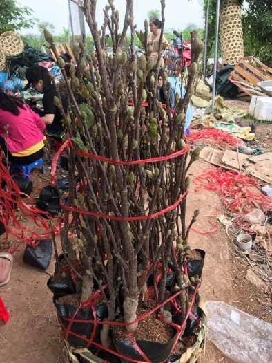 Giống cây hoa Mộc Lan tết 2021 - kỹ thuật trồng và chăm sóc - 0981.996.8804
