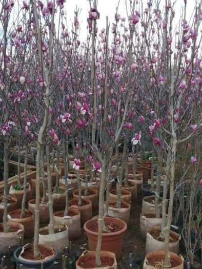 Giống cây hoa Mộc Lan tết 2021 - kỹ thuật trồng và chăm sóc - 0981.996.8802