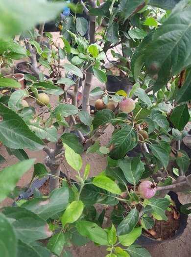 Cung Cấp Giống Táo Ruột Đỏ (táo tây) - 0981.996.880 .1
