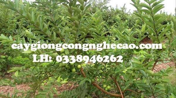 Cung cấp cây giống: Ổi Đông Dư5