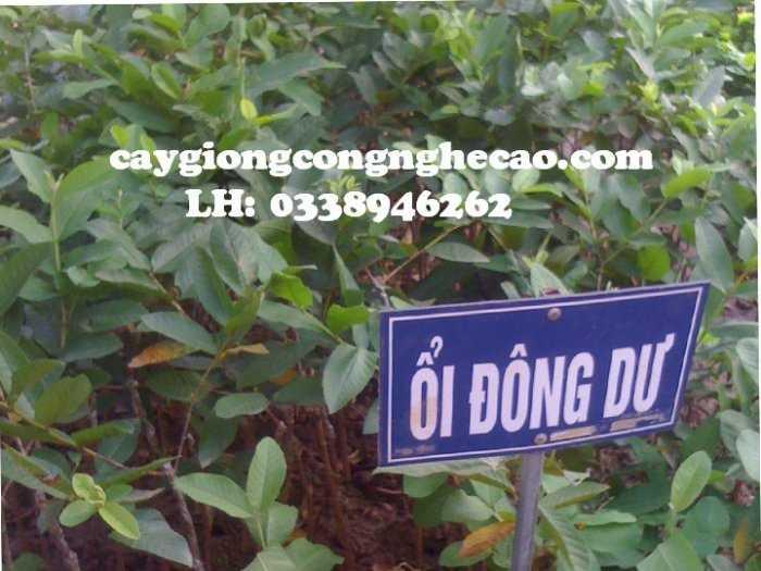 Cung cấp cây giống: Ổi Đông Dư4