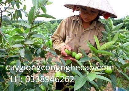 Cung cấp cây giống: Ổi Đông Dư3