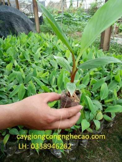 Cung cấp cây giống: Chuối Đỏ Dacca nuôi cấy mô3