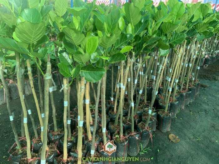 Cây Mít Trái Dài Malaysia4
