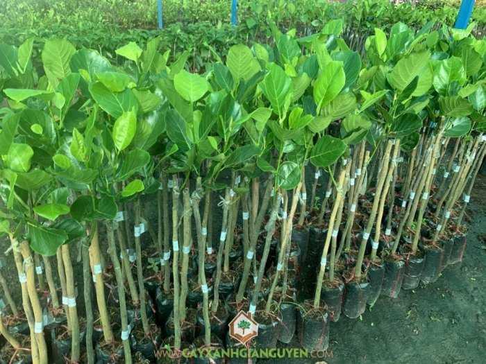 Cây Mít Trái Dài Malaysia2