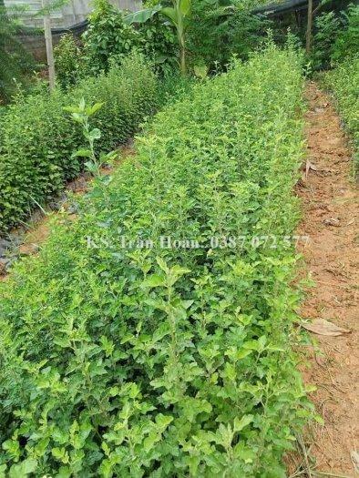 Bán hạt giống cây Táo mèo, Sơn Tra.2