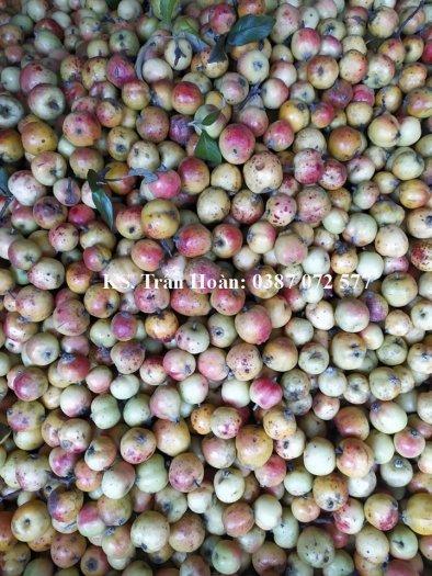 Bán hạt giống cây Táo mèo, Sơn Tra.1