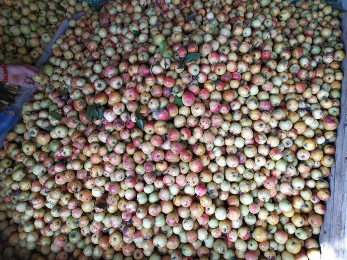 Bán hạt giống cây Táo mèo, Sơn Tra.0