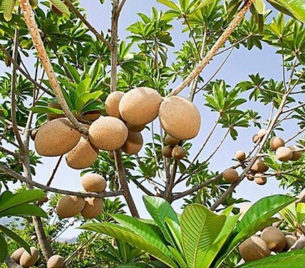 Bán Cây Hồng Xiêm Thái Chuẩn Giống 100% đa dạng cỡ3