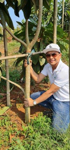 Bán Cây Hồng Xiêm Thái Chuẩn Giống 100% đa dạng cỡ1