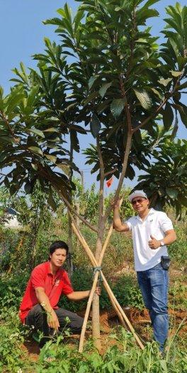 Bán Cây Hồng Xiêm Thái Chuẩn Giống 100% đa dạng cỡ0