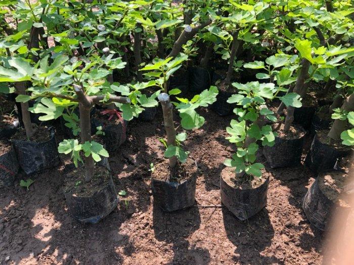 Cung cấp cây sung mỹ giống chuẩn chất lượng cao.0