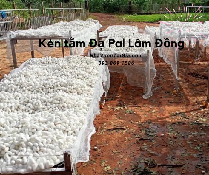 Mua Kén Tằm (Silkworm cocoon nest) TPHCM dưỡng da, xuất khẩu  10