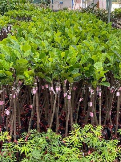 Giống cây Mít Thái lô chuẩn đẹp - chuẩn giống loại .2