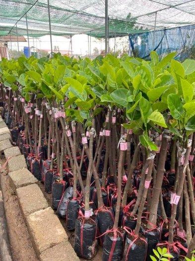 Giống cây Mít Thái lô chuẩn đẹp - chuẩn giống loại .1