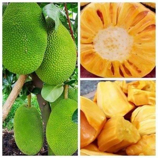 Giống cây Mít Thái lô chuẩn đẹp - chuẩn giống loại .0