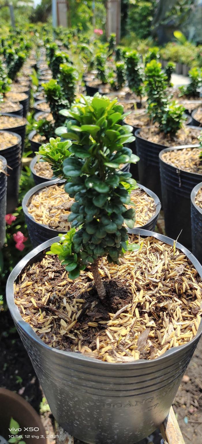 Mua cây ngâu tàu  -Gọi 0966703075 - Nhà Vườn Đức Tiến Phát  http://ductienphat.net/  Nhà bán hàng uy tín VIP Muabannhanh