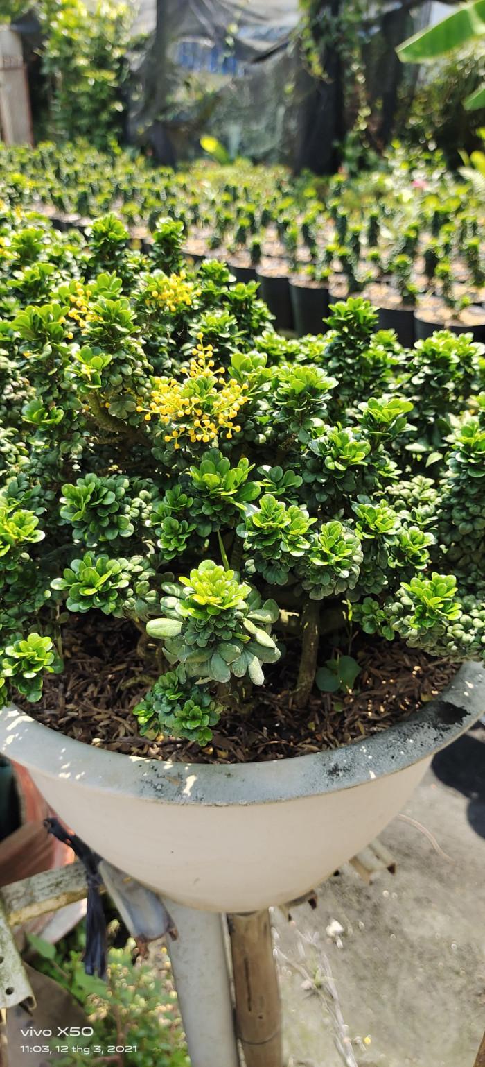 Cây Ngâu tàu Bonsai đẹp Gọi 0966703075 - Nhà Vườn Đức Tiến Phát