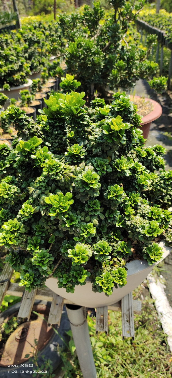 Mua cây ngâu tàu  - Giá bán cây ngâu tàu Nhà Vườn Đức Tiến Phát   Gọi 0966703075