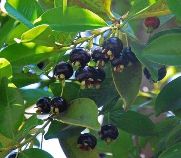 Giống Cherry Brazil chuẩn đẹp - giá cả phù hợp - sỉ lẻ toàn quốc .3