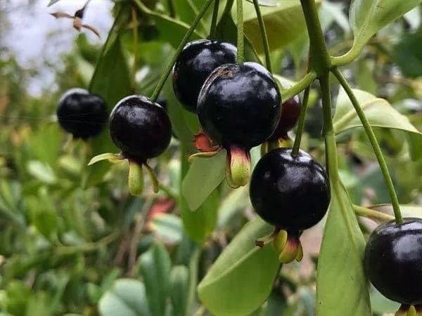 Giống Cherry Brazil chuẩn đẹp - giá cả phù hợp - sỉ lẻ toàn quốc .1