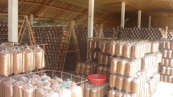 Mua Nấm linh chi đỏ Việt Nam -Trang trại nấm linh chi Củ Chi TPHCM -Gọi Mr Sơn - 097560300415