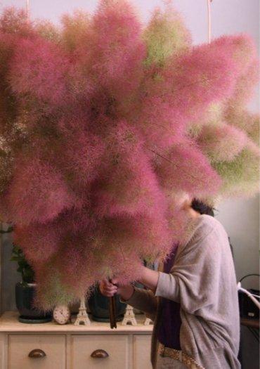 Smoke bush tree - hoa khói0
