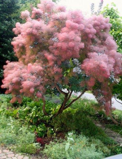 Smoke bush tree - hoa khói1