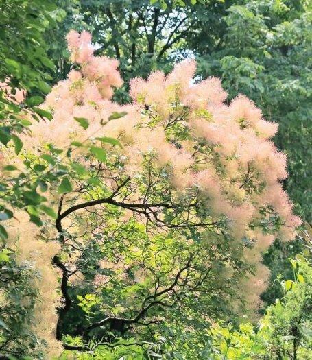 Smoke bush tree - hoa khói2