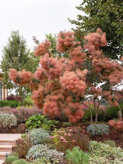 Smoke bush tree - hoa khói6