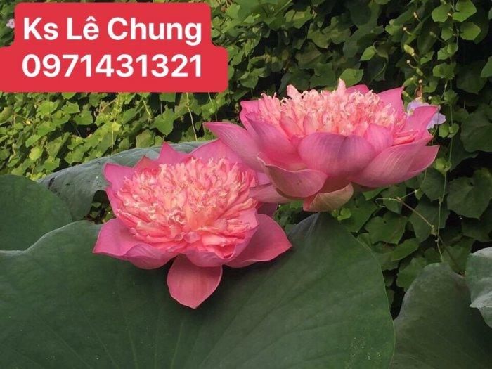 Hướng dẫn cách chăm sóc cây hoa sen bách diệp trắng, hồng - 1 loài sen cao quý0